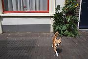 Een klein hondje loopt door de Haverstraat in Utrecht.<br /> <br /> A small dog is walking in Utrecht.
