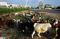 A young boy tries to herd his goats into a vacant lot in Gaza City. (Photo/Scott Dalton)