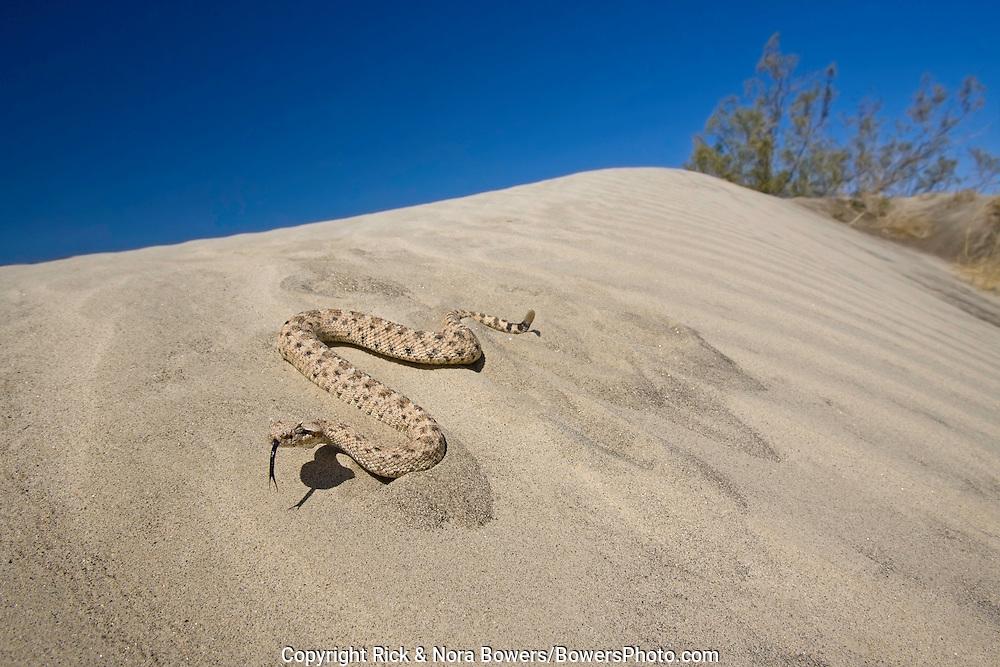 Sidewinder.Crotalus cerastes cerastes .Anza-Borrego Desert State Park, California, United States.11 May      Adult      Viperidae: Crotalinae