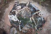 Itaguara_MG, Brasil.<br /> <br /> Ossada de um cachorro em uma rodovia. As mortes de animais em rodovias sao frequentes, devido ao aumento do desmatamento.<br /> <br /> A dog carcass in the highway. The animal deaths on highways are frequent because of increased deforestation.<br /> <br /> Foto: LEO DRUMOND / NITRO