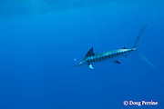 free swimming striped marlin, Kajikia audax, pursues a teaser lure, Vava'u, Kingdom of Tonga, South Pacific