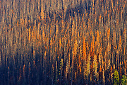 Burn from fire. Fire killed evergreen trees. Collin Range<br />