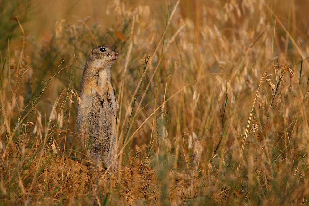 Little Souslik (Spermophilus pygmaeus), Bagerova Steppe, Kerch Peninsula, Crimea, Ukraine