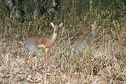 Africa, Tanzania, Serengeti National Park, Gunther's long snouted Dik dik Mandoqua guntheri the smallest antelopes