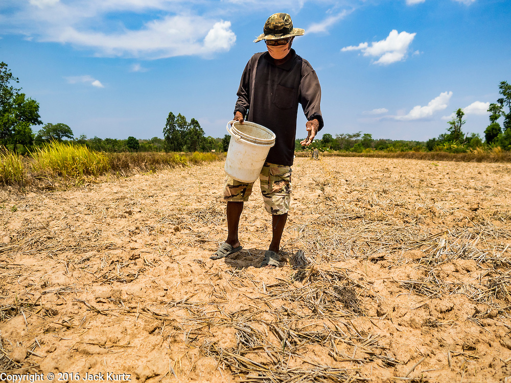 10 MAY 2016 - LAM NANG RONG, BURI RAM, THAILAND: A farmer spreads rice seed in his field in Buri Ram, Thailand. Many farmers in Thailand are several weeks behind schedule because of the drought in Thailand. Thailand is in the midst of its worst drought in more than 50 years. The government has asked farmers to delay planting their rice until the rains start, which is expected to be in June. The drought is expected to cut Thai rice production and limit exports of Thai rice. The drought, caused by a very strong El Nino weather pattern is cutting production in the world's top three rice exporting countries:  India, Thailand and Vietnam. Rice prices in markets in Thailand and neighboring Cambodia are starting to creep up.    PHOTO BY JACK KURTZ