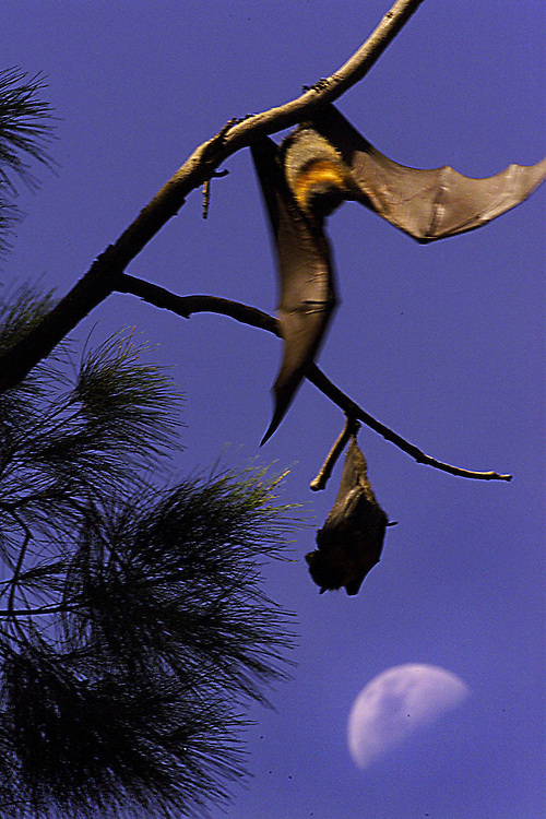 SPECIAL 00010510 csz010103.001.001.jpg..Digicam00010510..Large numbers of Grey Headed Flying Foxes are threatening fauna at Melbourne's Botanical Gardens..Pic By Craig Sillitoe melbourne photographers, commercial photographers, industrial photographers, corporate photographer, architectural photographers, This photograph can be used for non commercial uses with attribution. Credit: Craig Sillitoe Photography / http://www.csillitoe.com<br />