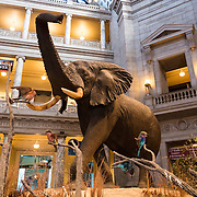 A large elephant on display in the Kenneth Behring Family Rotunda of the Smithsonian National Museum of American History in Washington DC.