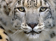 Image portrait of a snow leopard gazing