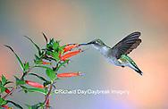 01162-093.05 Ruby-throated Hummingbird (Archilochus colubris) female at Cigar Plant (Cuphea ignea)  Shelby Co. IL