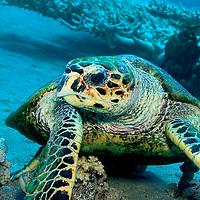 Alberto Carrera, Sea Turtle, Red Sea, Egypt