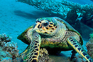Alberto Carrera, Sea Turtle, Red Sea, Egypt
