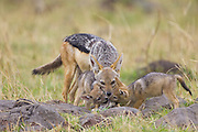 Black-backed Jackal<br /> Canis mesomelas<br /> Regurgitating to4 week old pup(s) <br /> Masai Mara Triangle, Kenya