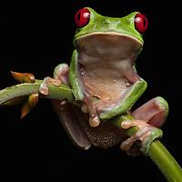Red-eyed treefrog, Agalychnis calidryas, in the Osa Peninsula.
