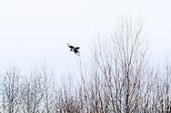 Black Billed Magpie, (Pica hudsonia), winter.