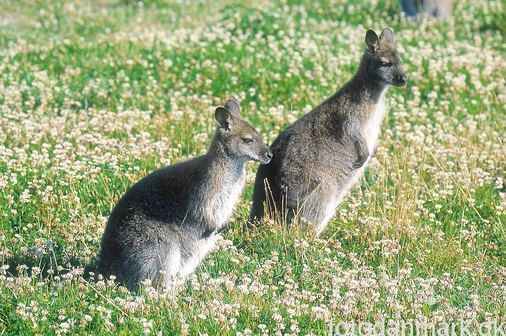 Kangaroos (wallabies) in Knuthenborg