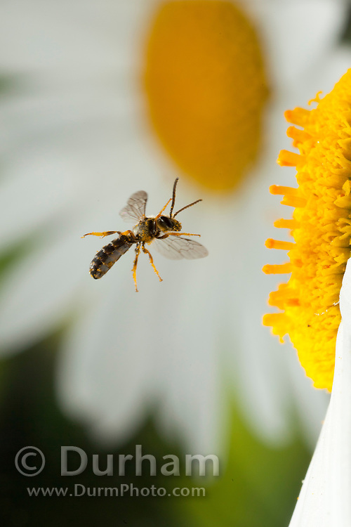 A tiny male halictidae bee approaching a garden daisy flowers in western Oregon. © Michael Durham / www.DurmPhoto.com