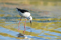 Black-winged Stilt catching aquatic invertebrates in the shallows of a wetland, Overberg, Western Cape, South Africa