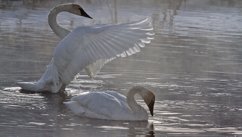 After successful defense of their territory, trumpeter swans celebrate with necks raised high and wings outstretched. Trumpeters aggressively defend their territory against other swan pairs that mistakenly venture too close for comfort.