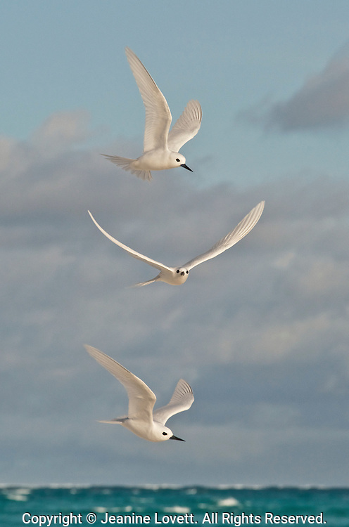 Three terns fly in formation above the sea.