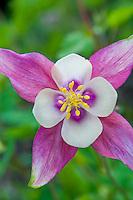 Switzerland. Springtime. Close-up of a lovely columbine flower.