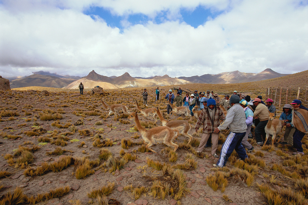 People releasing wild Vicuna after shearing {Lama vicugna} SW Bolivia, South America - to benefit Guadalupe community Dept Potosi 2001