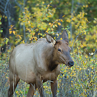 cow elk in aspens walking
