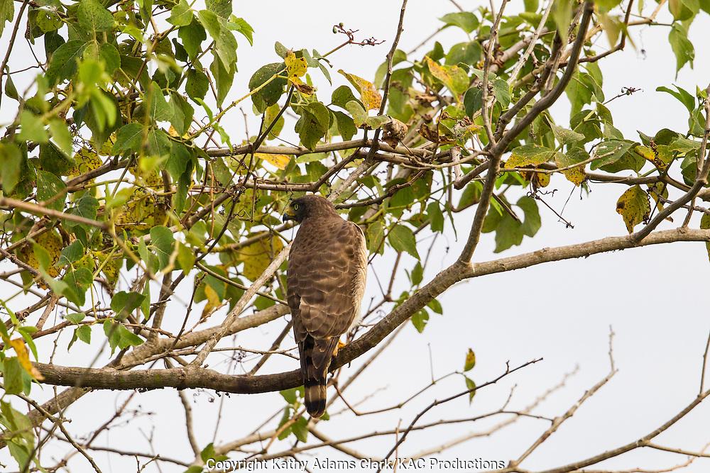 Brazil; Mato Grosso; Pantanal; Roadside Hawk; Rupornis magnirostris