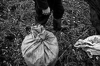 02/12/2010 Acquaviva delle Fonti, sacco di olive appena chiuso...La raccolta delle olive e la produzione dell'olio extravergine sono un rituale che si protrae da moltissimo tempo in Puglia, questo avviene solitamente nel periodo che va da novembre a dicembre, mentre il lavoro di preparazione e coltivazione si svolge lungo tutto l'arco dell'anno..La raccolta è seguita nella maggior parte dei casi, quando le olive non vengono vendute all'ingrosso, dalla molitura presso gli oleifici per la produzione di quello che da queste parti viene chiamato anche oro verde..