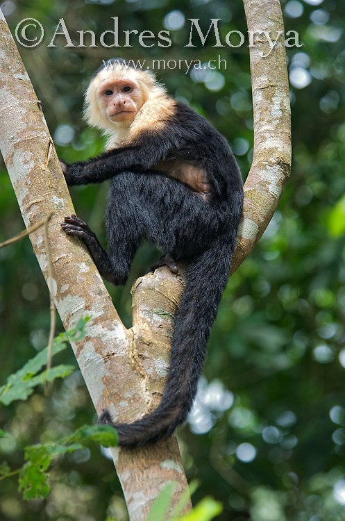 The white-headed capuchin (Cebus capucinus), also known as the white-faced capuchin or white-throated capuchin. Native to the forests of Central America and the extreme north-western portion of South America, the white-headed capuchin is important to rainforest ecology for its role in dispersing seeds and pollen. Image by Andres Morya
