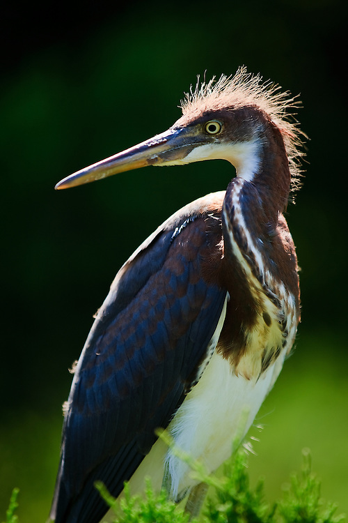 Backlit portrait of a fledgling tricolored heron (Egretta tricolor) at the St. Augustine Alligator Farm Rookery, Anastasia Island, St. Augustine, Florida.