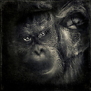 Portrait of a captured orang-utan - shot through a thick pane of savety glass hence the blur. He was pressing his mouth and a fist against the pane - texturized monochrome photograph