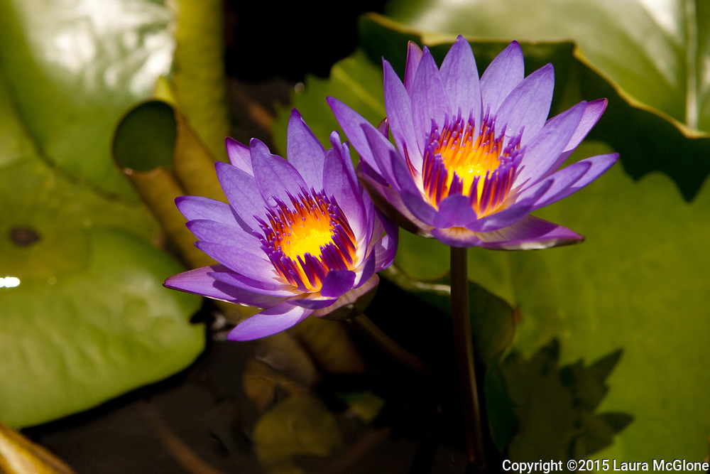 Purple Lotus Flowers Thailand