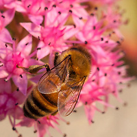 Honeybee on a dark pink Sedum flower.