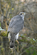 Goshawk - Accipiter gentilis - male. W 100-115cm. Impressive, buzzard-sized raptor. In flight, note broad, rounded wings and relatively long but thickset barred tail. Soaring birds fan their tails and splay white, fluffy, undertail. Close view (an unusual event) reveals orange eye, yellow legs and feet, and striking pale supercilium. Sexes are similar but male is smaller than female. Adult has mainly grey-brown upperparts; pale underparts are marked with fine dark barring. Juvenile has brown upperparts; buffish underparts are marked with dark, teardrop-shaped spots. Voice Utters a harsh kie-kie-kie in breeding season. Status Scarce but easily overlooked. Favours wooded habitats with adjacent open country.