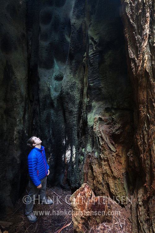A hiker is dwarfed by the inside of a burned out redwood tree, Prairie Creek Redwoods State Park