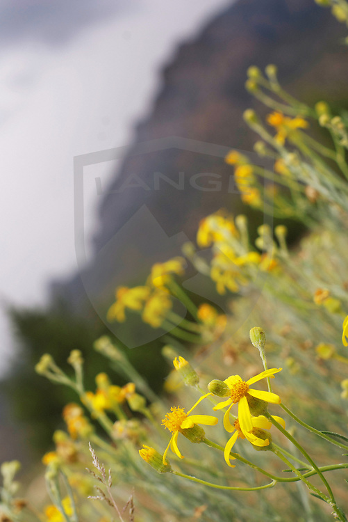 yellow wildflowers bloom in the summer season in the sandia mountains of albuquerque new mexico.  considered an urban wilderness, the sandia mountains offer beautiful scenery and natural wonder to those who partake their offerings.  selective focus