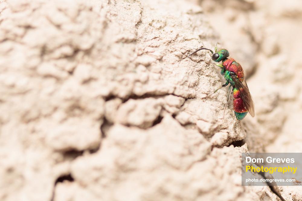 Ruby-tailed wasp (Chrysis viridula) stalking  spiny mason wasp (Odynerus spinipes) nest burrows. Dorset, UK.