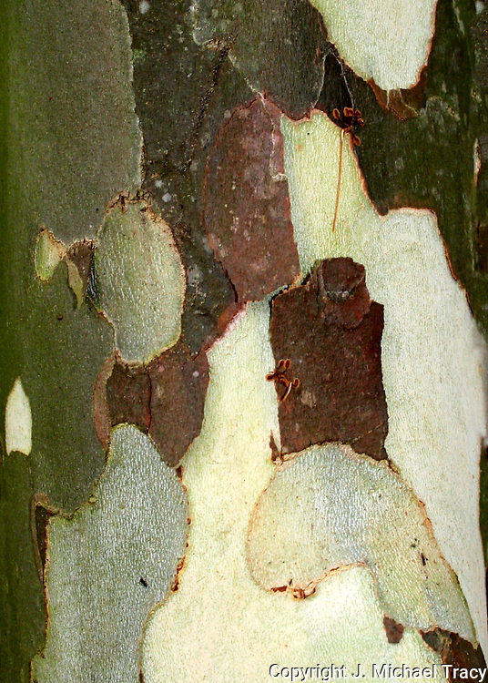 Close up tree bark photos from many different American Trees such as, Slash Pine, Pecan, Cottonwood, Birch, White Oak, Yellow Pine, Long Leaf Pine, Maple, Hickory, Gum, Cedar, Pine with trumpetvine.