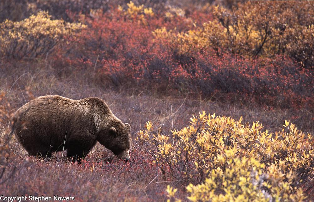 A brown bear in Denali National Park eats blueberries.