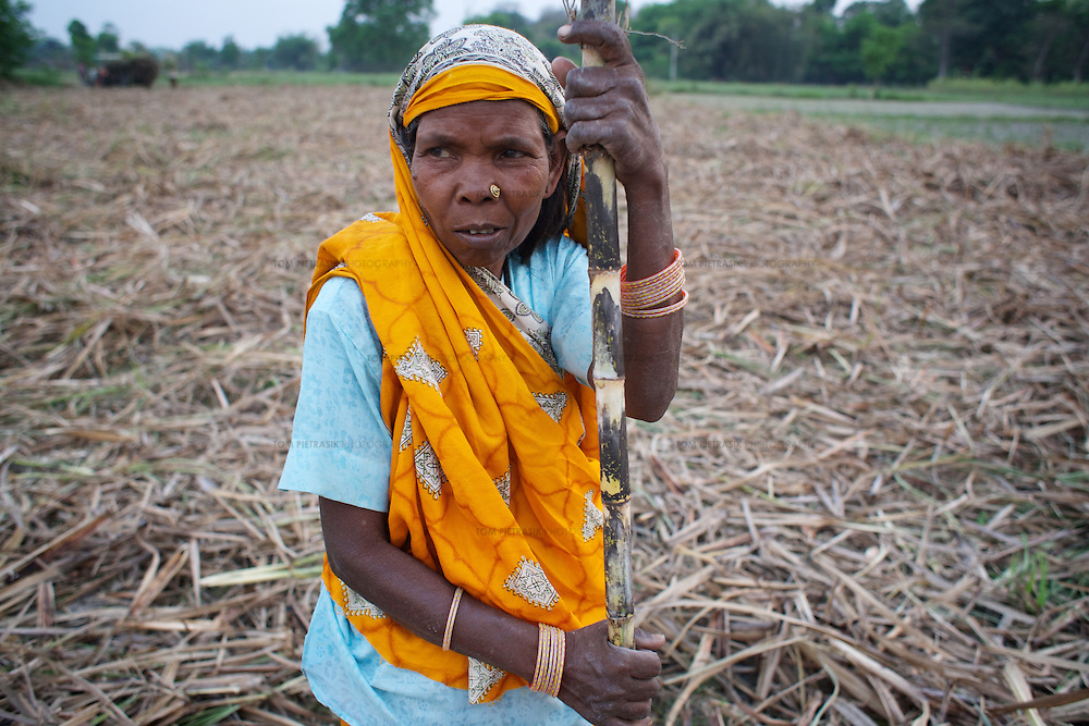 Women from a Dalit (low-caste, NOT Musahar) village neighbouring Charbhariya spread the chaff after harvesting a field of sugar cane. The chaff will be later burnt with the ashes providing nutrients to the next crop. Sugar cane is a cash crop.<br /> <br /> Charbhariya village is home to 87 Musahar families. Despite generations of repression, this community, with the help of local campaigning groups including Action Aid, have achieved some recent successes in the fight for the provision of services. A drainage system is being built in the village as part of the Food For Work Programme and employment has been provided under the National Rural Employment Guarantee Programme. These Government of India schemes are designed to use the rural unemployed to generate productive assets and infrastructure. The campaign for land-rights continues and so far only one of Charbhariya's Musahars has been granted land by the government. The Charbhariya women's self help group is coordinating action to ensure that the local government school has a properly functioning midday-meals programme and that the government funded ICDS (Integrated Child Development Service) is fully operational. Panchayat (or village level) council leader Prabhu Prasad is himself Musahar which provides the community a significant opportunity to demand their rights from the local administration. Direct action by the community recently ensured that below the poverty line ration cards were distributed to every family in Charbhariya.<br /> <br /> The Musahar community are one of India's most impoverished and marginalised groups. They are considered untouchable within the heavily stratified Hindu caste system. Most Musahar people reside in rural districts of Nepal and India's Uttar Pradesh, Madhya Pradesh and Bihar states where they are the victims of ingrained local prejudice and administrative indifference. Literacy levels in the community are as low as 2 percent and child malnutrition is common. The Musahar are poorly represented in both