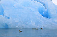 Northern fulmars, aka Arctic fulmars (Fulmarus glacialis) swim beside iceberg ; Kongsfjorden, Svalbard.