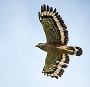 Crested Serpent-eagle (Spilornis cheela) from Tabin, Sabah, Borneo.