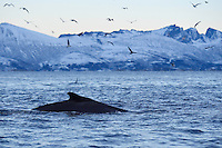 Humpback whale, Megaptera novaeangliae, and herring gulls, Larus argentatus, Senja, Troms county, Norway, Scandinavia