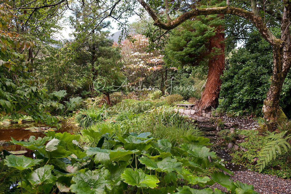 Marginal planting around the pond in the Walled Garden including Darmera peltata, Crocosmia and Gunnera manicata<br /> <br /> Dundonnell House, Wester Ross, Scotland