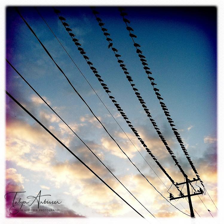 Birds on a wire 3 - Houston, Texas