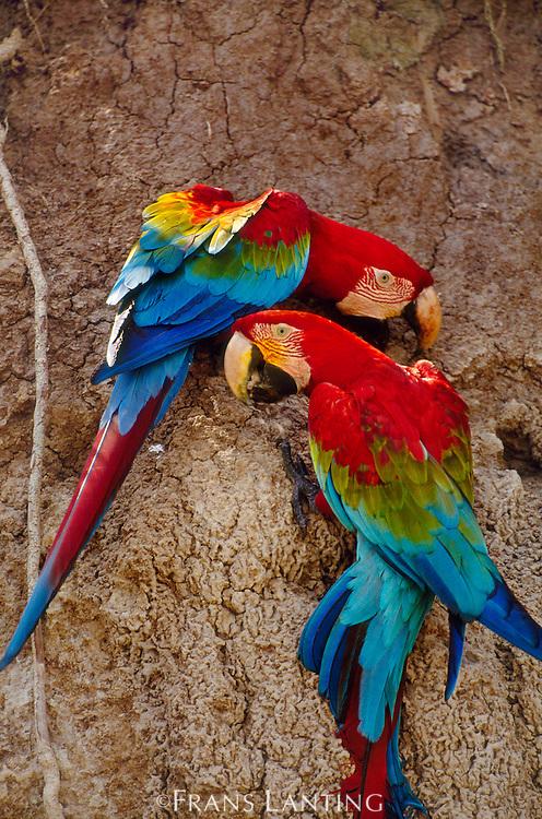Red-and-green macaws at clay lick, Ara chloroptera, Manu National Park, Peru