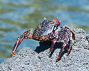 Sally Lightfoot or red lava crab (Grapsus grapsus) at Punta (Point) Espinoza, on Fernandina (Narborough) Island, Galápagos Islands, a province of Ecuador, South America. Grapsus grapsus is one of the most common crabs along the western coast of South America, and can also be seen along the entire coast of Central America and Mexico and nearby islands. This crab has five pairs of legs, the front two bearing small, blocky, symmetrical chelae. The other legs are broad and flat, with only the tips touching down. The crab's round, flat carapace is just over 8 cm (3 inches) in length. Young crabs are black or dark brown in color and camouflage well on the black lava coasts of volcanic islands. Adults are quite variable in color. Some are muted brownish-red, some mottled or spotted brown, pink, or yellow. The ones seen on photographs of tropical island fauna are often bright orange or red with stripes or spots dorsally, blue and green ventrally, and sporting red claws and pink or blue eyes. This crab lives amongst the rocks at the often turbulent, windy shore, just above the limit of the seaspray. It feeds on algae primarily, sometimes sampling plant matter and dead animals. It is a quick-moving and agile crab, and hard to catch, but not considered very edible by humans. It is used as bait by fishermen.
