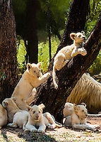 Rare White lion cubs, Lion Park, near Johannesburg, South Africa. The white lion is a rare color mutation of the Timbavati region of South Africa.