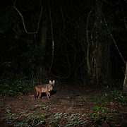The golden jackal (Canis aureus) is a wolf-like canid that is native to Southeast Europe, Southwest Asia, South Asia, and regions of Southeast Asia.