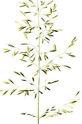 Goldhafer<br /> Trisetum flavescens<br /> S&uuml;&szlig;gr&auml;ser<br /> Goldhafer ist ein S&uuml;&szlig;gras, das eine H&ouml;he bis zu 1 m erreicht. Die Bl&auml;tter sind weich behaart und etwa 4 mm breit. 2 - 3 Bl&uuml;ten wachsen jeweils in 6 mm langen gelben &Auml;hrchen. Die locker ausgebreitete Bl&uuml;tenrispe &auml;hnelt der des Hafers. Bl&uuml;tezeit ist Mai - Juni. Wiesen-Goldhafer, Gemeiner Goldhafer, Gewoehnlicher Goldhafer, Goldhafer, Gold-Hafer  | yellow oat-grass, yellow oats